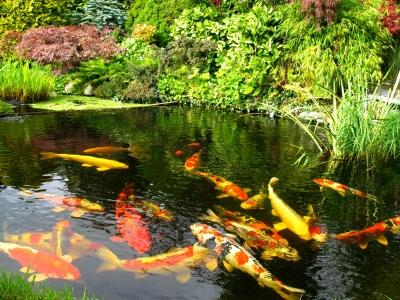 zahradní jezírko pro chov ryb, zahradní jezírka pro chov ryb, zahradní jezero pro chov ryb, zahradní jezero pro chov ryb, zahradní jezírko pro chov ryb, ryby v jezírku, zahradní rybníček, jezírkové ryby